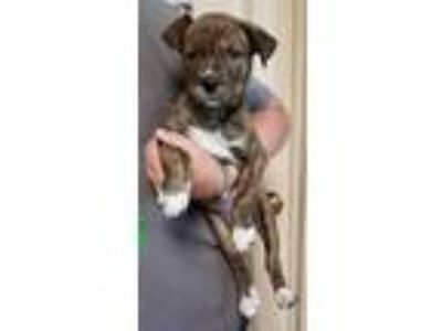 Adopt Lily a Shepherd, Pit Bull Terrier