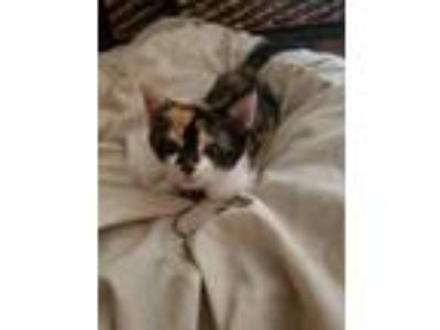 Adopt Atina a Orange or Red Domestic Shorthair / Domestic Shorthair / Mixed cat