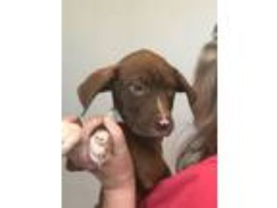 Adopt CHIP By a Chocolate Labrador Retriever