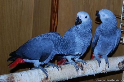 Cuddly tame baby African greys for Christmassale