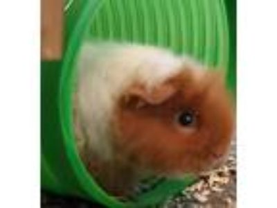 Adopt Toffee a Guinea Pig small animal in Brea, CA (25880723)