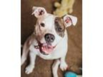 Adopt Evelyn a Pit Bull Terrier