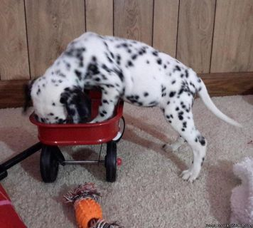 bhhdtht Dalmatian Puppies Ready for sale