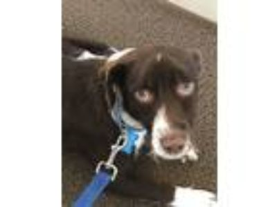 Adopt Jacob a Brown/Chocolate - with White Jack Russell Terrier / Terrier
