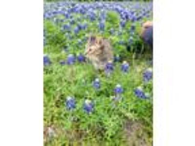 Adopt Tamar a American Shorthair