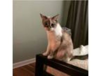 Adopt Lily a White (Mostly) Siamese / Mixed cat in Cuyahoga Falls, OH (24258390)