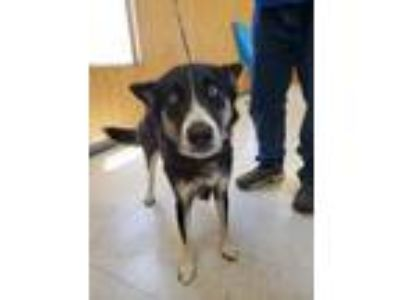 Adopt Annie a Siberian Husky, Mixed Breed