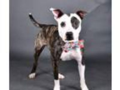 Adopt Johnny a Pit Bull Terrier