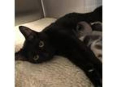 Adopt Elsa a All Black Domestic Shorthair cat in Oyster Bay, NY (25904144)