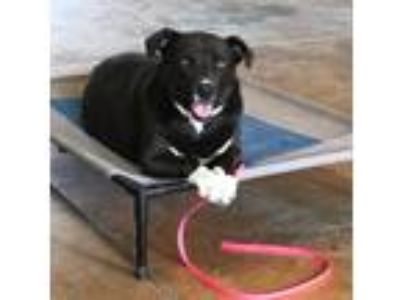Adopt Capri a Black - with White Labrador Retriever / Mixed dog in Tucson