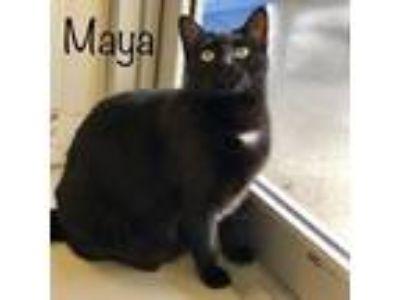 Adopt Maya a All Black Domestic Mediumhair / Domestic Shorthair / Mixed cat in