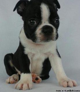 Lovable AKC Reg Boston Terrier Puppies For Adoption
