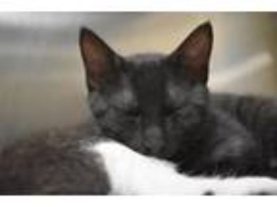 Adopt HODOR a Domestic Short Hair
