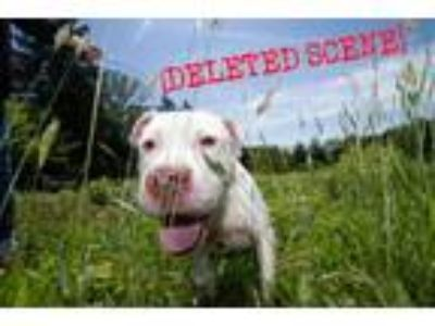 Adopt Ghost a Pit Bull Terrier