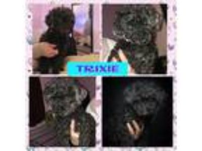 Adopt Trixie a Black Poodle (Standard) dog in Whitestone, NY (23884700)