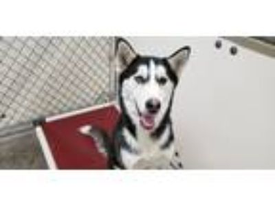 Adopt Boo a Black - with White Siberian Husky / Mixed dog in California City