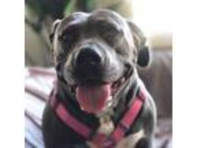 Adopt Hippo a American Staffordshire Terrier / Mixed dog in San Juan Capistrano