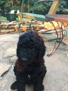 Poodle (Standard) PUPPY FOR SALE ADN-93256 - Black Standard Poodles