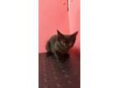 Adopt ANTON a Domestic Short Hair