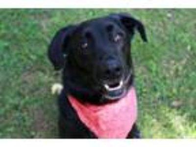 Adopt Banjo a Labrador Retriever