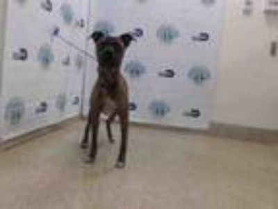 Adopt POOCHIE a Boxer, Mixed Breed