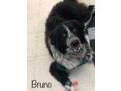 Adopt Bruno a Black Border Collie / Mixed dog in Philadelphia, PA (25339335)