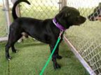 Adopt ARIES a Black - with White Labrador Retriever / Mixed dog in West Palm