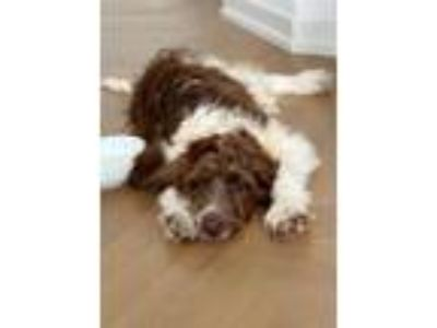Adopt Dudley a Brown/Chocolate - with White Newfoundland / Poodle (Standard) dog