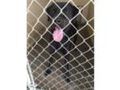 Adopt 13826 Shilo a Black Labrador Retriever dog in Chatsworth, GA (22898473)