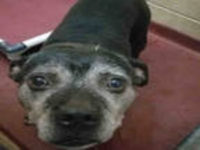Adopt CUPID a Black - with White American Pit Bull Terrier / Mixed dog in