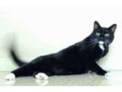Adopt WHISKERS a Domestic Short Hair