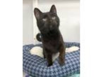 Adopt Mr. Cat a Domestic Short Hair