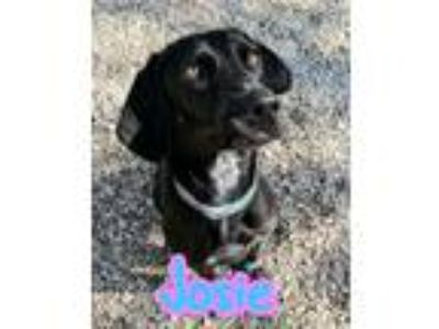 Adopt Josie a Black Labrador Retriever, Bluetick Coonhound