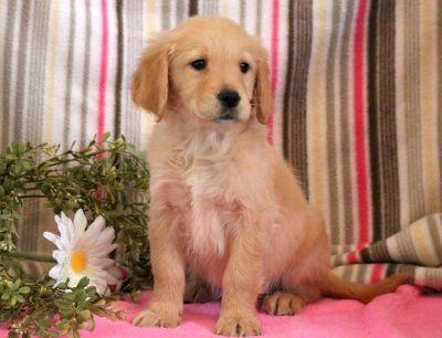 Golden Retriever PUPPY FOR SALE ADN-71278 - Golden Retriever Puppy for Sale