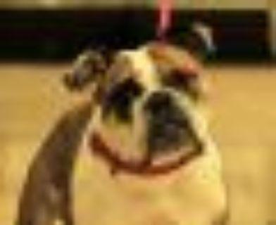 Sparrow - Foster to Adopt English Bulldog Dog