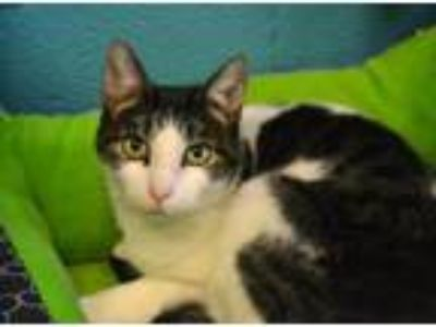 Adopt Jezabell *Special Adoption Fee a Domestic Short Hair