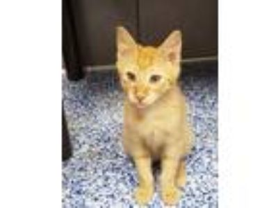 Adopt Tangerine a Orange or Red Tabby Domestic Shorthair (short coat) cat in