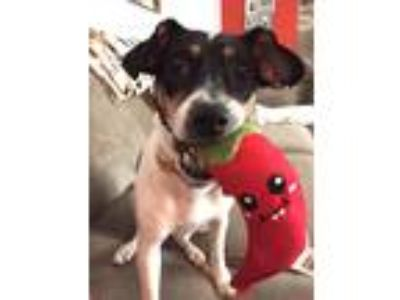 Adopt Sophie a Tricolor (Tan/Brown & Black & White) Fox Terrier (Smooth) / Rat