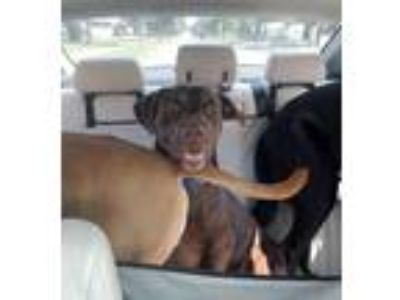 Adopt Chico a Chocolate Labrador Retriever