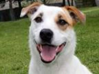 Adopt Phoebe 5875 a Jack Russell Terrier, Pointer