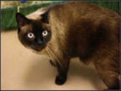 Adopt RHEA a Cream or Ivory (Mostly) Siamese / Mixed (short coat) cat in Plano