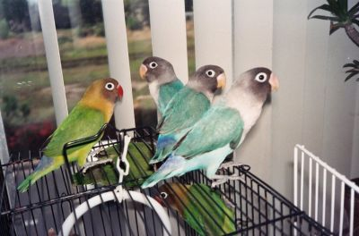 Free Lovebirds to Good Homes