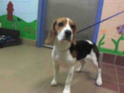 Adopt POPPY a Brown/Chocolate - with White Beagle / Mixed dog in Castaic