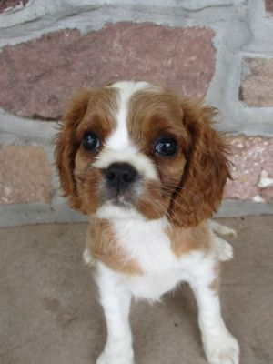 Cavalier King Charles Spaniel PUPPY FOR SALE ADN-87719 - cavalier  king charles puppies