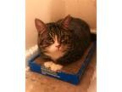 Adopt Jack a Gray, Blue or Silver Tabby American Shorthair / Mixed cat in