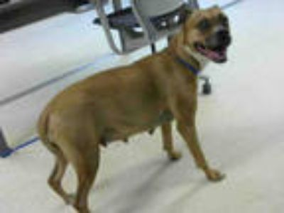 Adopt CLARET a Brown/Chocolate - with White Boxer / Mixed dog in Atlanta