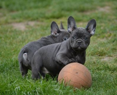 French Bulldog PUPPY FOR SALE ADN-80413 - Blue Brothers Frenchie