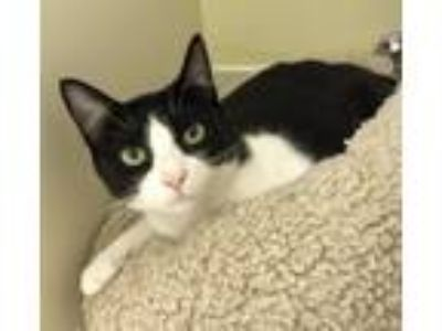 Adopt Susie Q a Domestic Short Hair