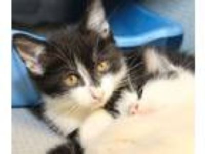 Adopt Theodore a Domestic Short Hair