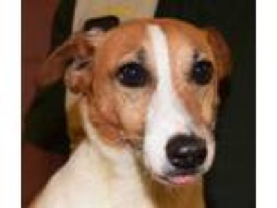 Adopt Jackie a Jack Russell Terrier
